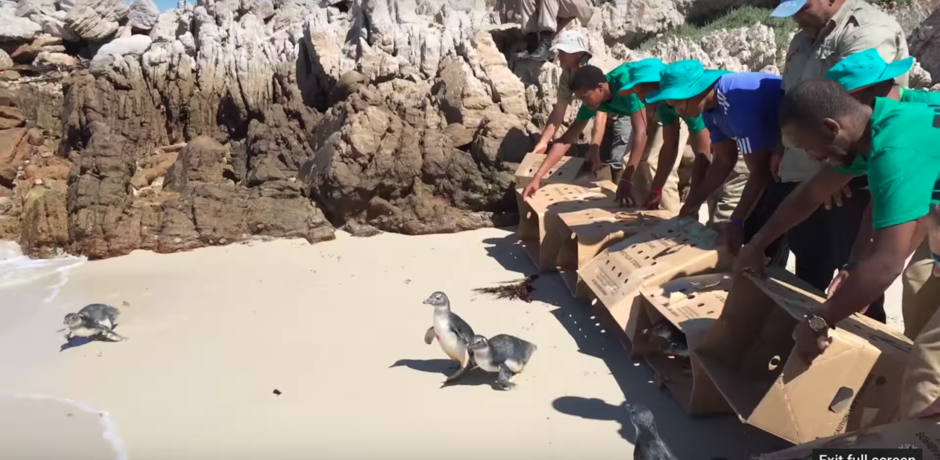 A still from a video of the release of African penguins by Academy partners in South Africa