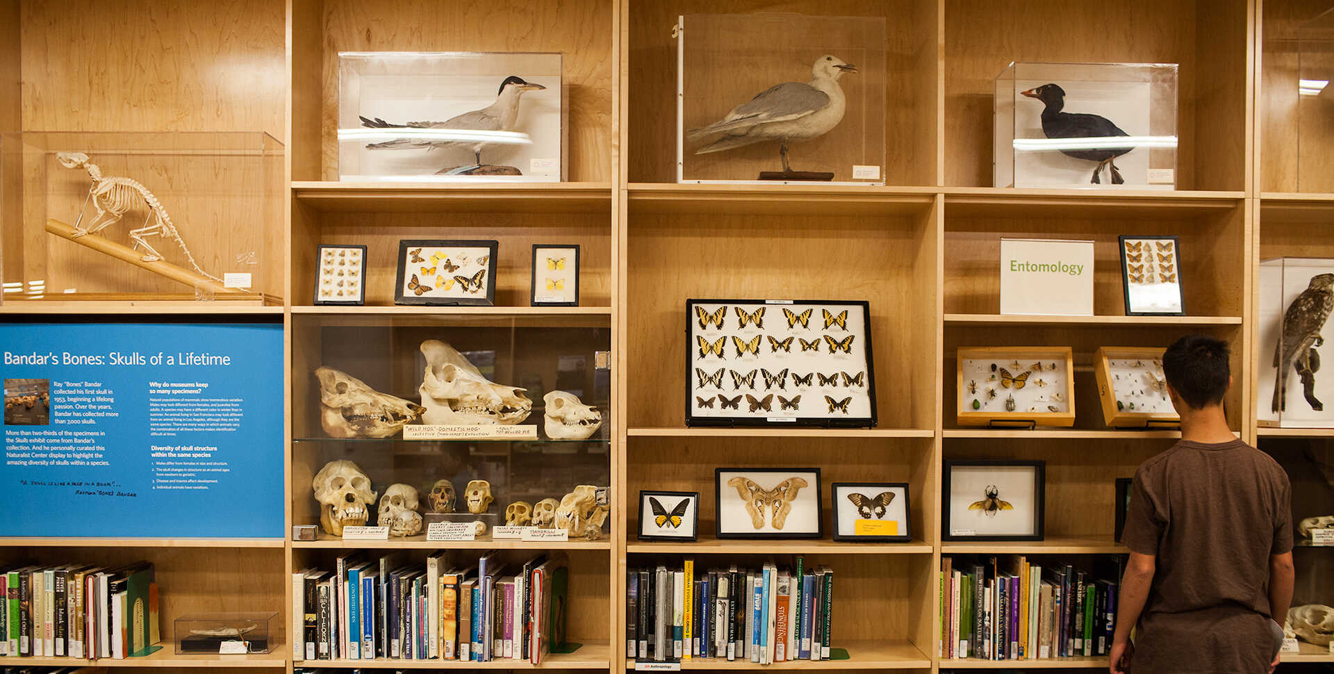 A visitor inspecting the Naturalist Center cabinets filled with specimens, books, and more.