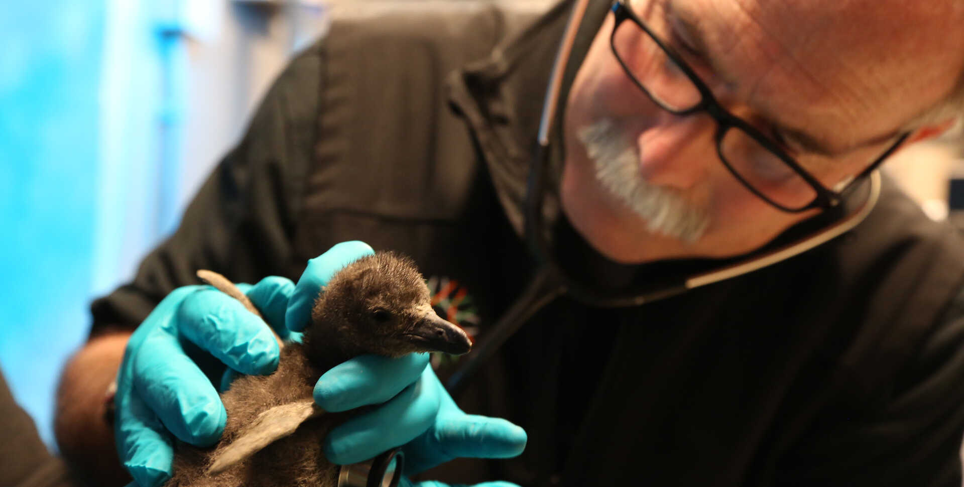 Academy veterinarian Freeland Dunker examines an African penguin chick with a stethoscope