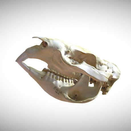 wombat skull