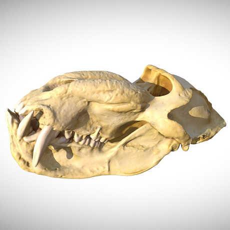 mandrill skull