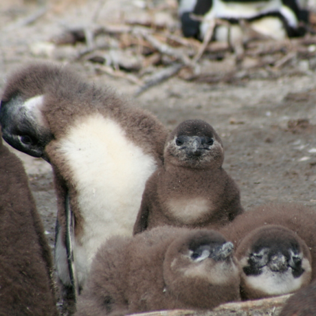 African penguin chicks