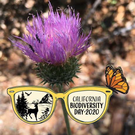 california thistle