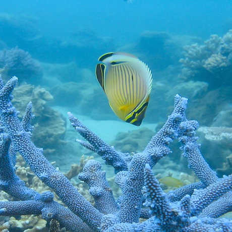 Butterflyfish and coral staghorn by Terry Hughes