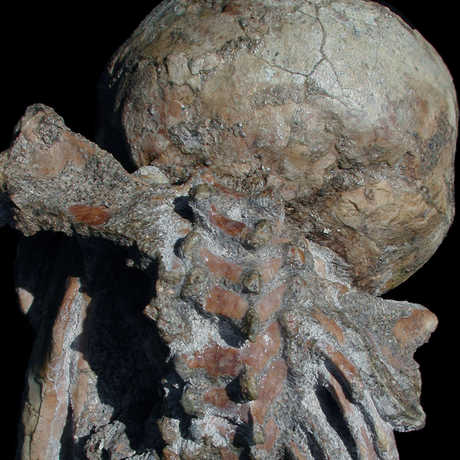 Image of Selam's scapula