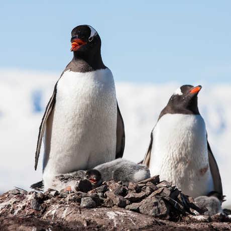 Photo of gentoo penguins