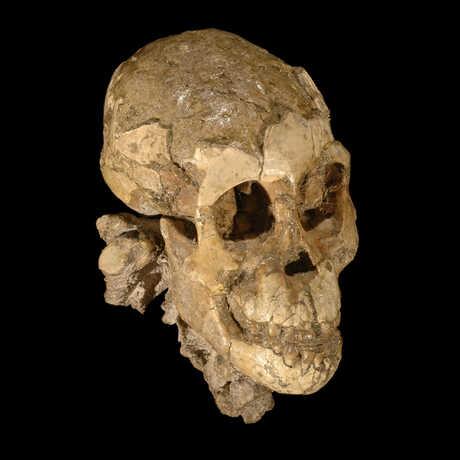 Selam cranium