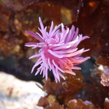 Pink nudibranch, Okenia rosacea