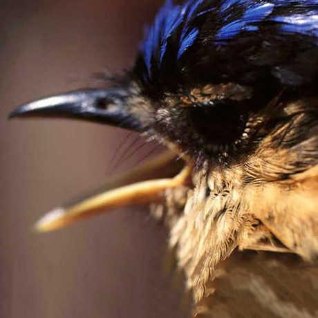 Close up of an ifrita bird