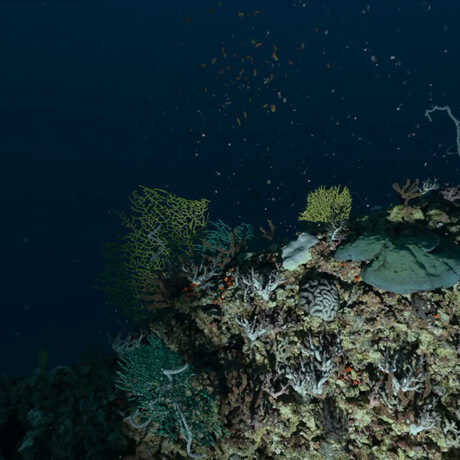 scientist divers shine a light on coral living in the Twilight Zone of the ocean