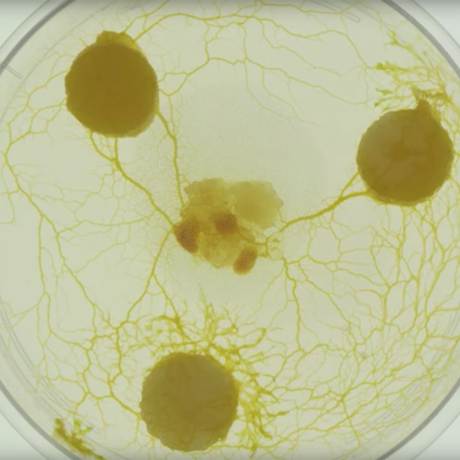Slime mold in a petri dish