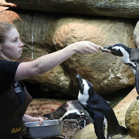 Biologist feeding penguin