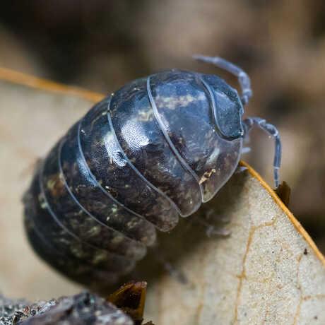 Pillbug_CletusLee