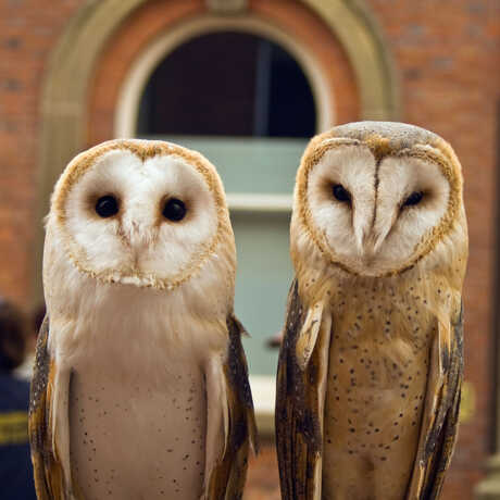 Two barn owls sit next to one another in front of a brick building.
