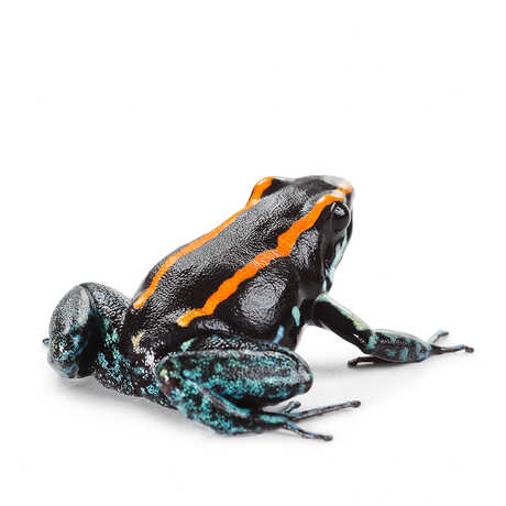 Closeup of a black frog with orange stripes and blue blemishes
