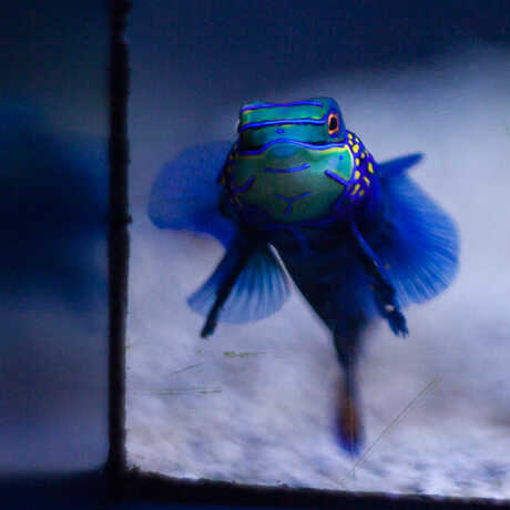A Mandarin Dragonet in the Steinhart Aquarium.