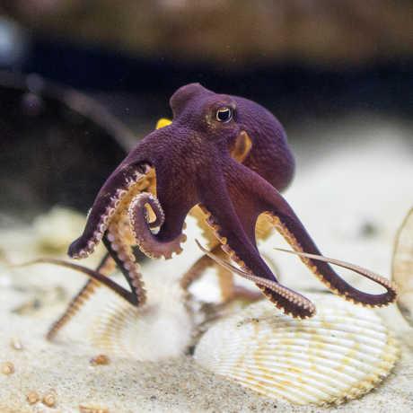 A coconut octopus in the Steinhart Aquarium.