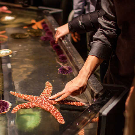 A visitor gently touches a large starfish in the Discovery Tidepool touch tank.