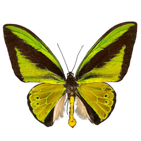 A male Goliath butterfly