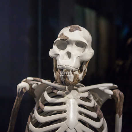 """A reproduction of the famous """"Lucy"""" skeleton."""