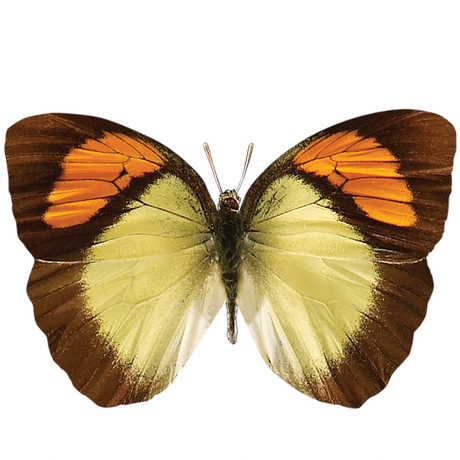 A brown, orange, and yellow silo butterfly