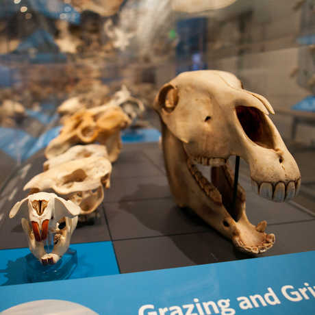 View of a horse skull, along the skulls of other animals that grind their food.