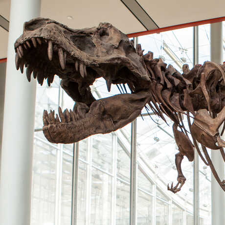 The toothy, open mouth of a T. rex skeleton greets visitors at the Academy entrance.