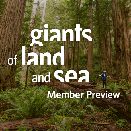 A hiker stands among giant redwood trees in Prairie Creek State Park