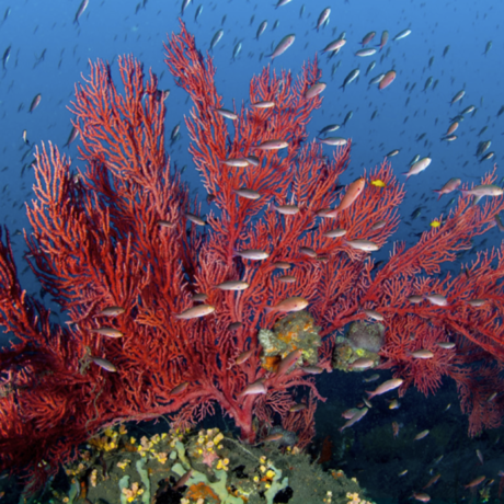 Underwater photo of red sea fan with fish by Luiz Rocha