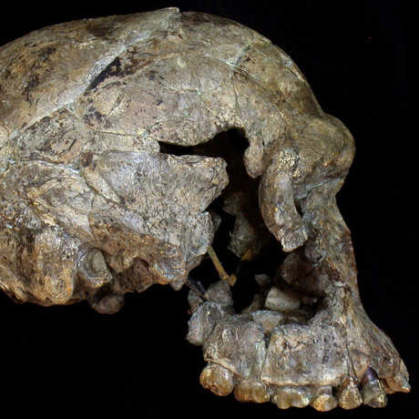 A profile view of the skull of an early genus Homo specimen.