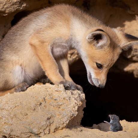 Fox stares at rodent. Photo by Ayala Fishaimer