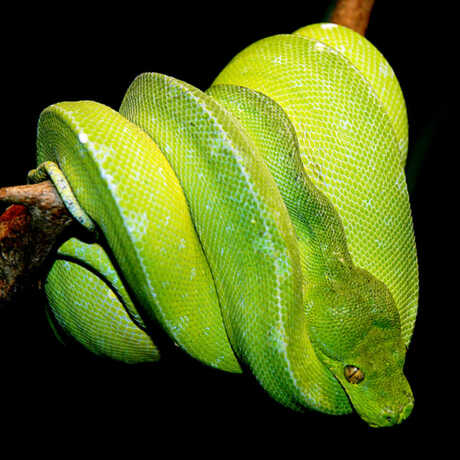 Photo of green tree python; Source: Marcel Burkhard alias cele4