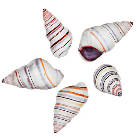 Candy cane snail shells