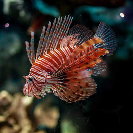 Lionfish shows off its coloration in new Venom exhibit at the Academy
