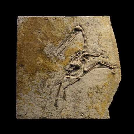 A fossilized pterosaur against a dramatic black background