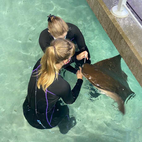 2 biologists apply topical medication to the rostrum of a cownose ray