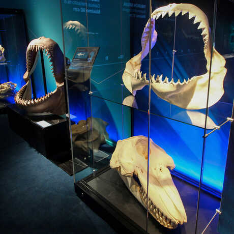 Display case containing actual shark jaws