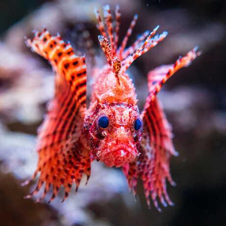 Close-up of dwarf lionfish