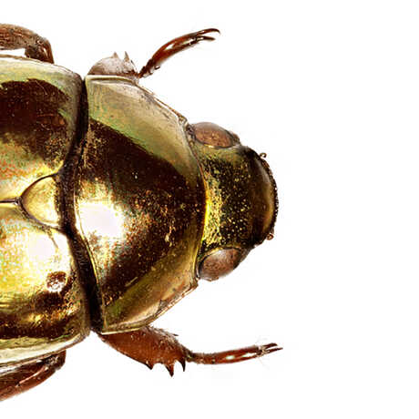 Macro photograph of a golden iridescent beetle