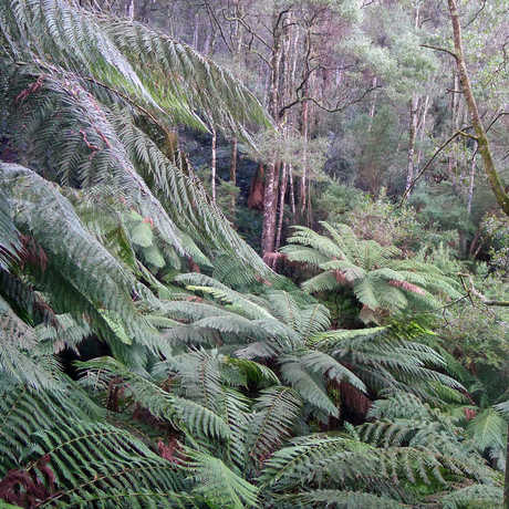 Lush temperate rainforest with cycads in Victoria, Australia
