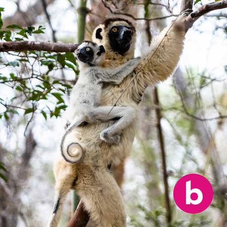 An adult lemur with a baby on its back rests in a tree in Madagascar