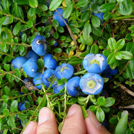 Expedition photo of Gaultheria fruit from China's Gaoligong Mountains