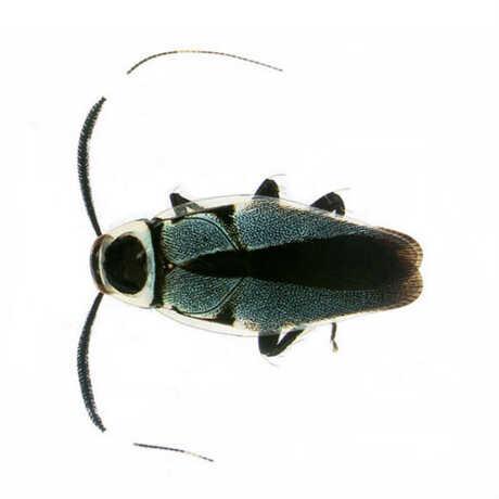 Cockroach, Order Blattodea