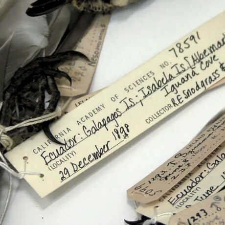 Collections tags on the Academy's collection of Galápagos finches