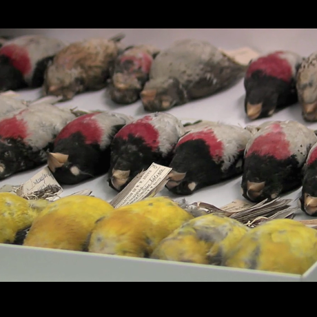 Screenshot of ornithology specimens at California Academy of Sciences.
