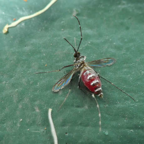 Engorged mosquito