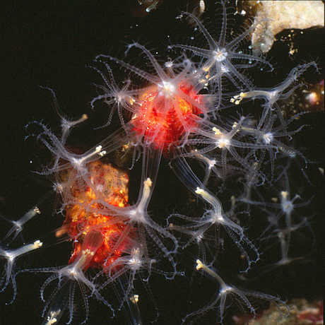 Bioluminescent soft coral discovered by Gary Williams in the Solomon Islands.