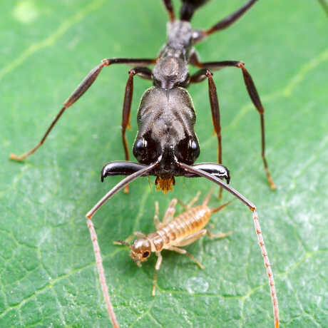 Trap-jaw ant about to strike