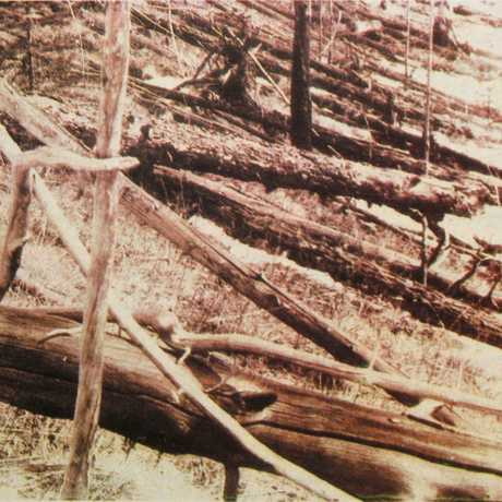 Flattened trees after the Tunguska Event of 1908