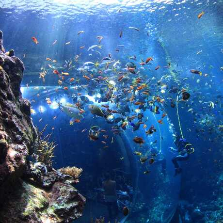Academy Diver in Philippine Coral Reef Tank